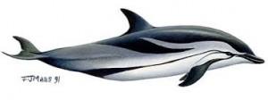 dolfijn tekening 1
